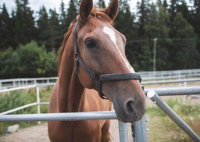Ruskea hevonen putkitarhassa