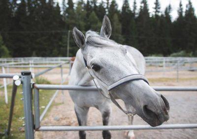 Valkoinen hevonen putkitarhassa