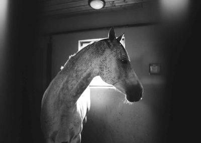 Valkoinen hevonen tallissa